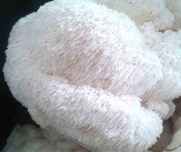 Lions Mane, Ballyhoura Mountain Mushrooms