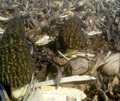 Morels_Ballyhoura Mushrooms